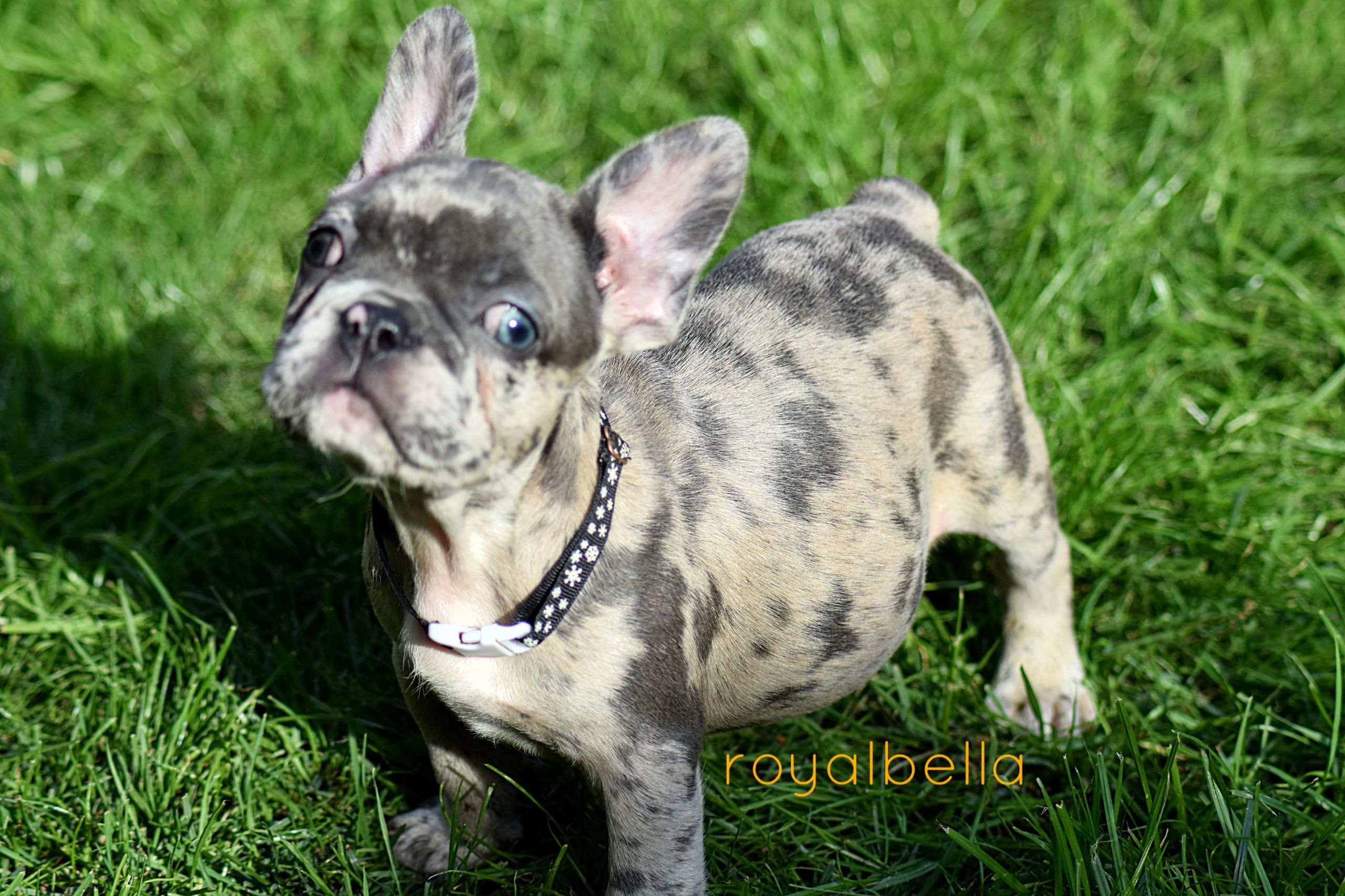 French Bulldog Puppies For Sale Yorkshire And Lincolnshire